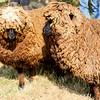 080314_Sheep-6