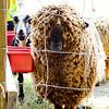 080314_Sheep-27