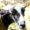 080314_Sheep-33