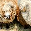 080314_Sheep-20