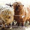 080314_Sheep-21
