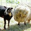 080314_Sheep-10