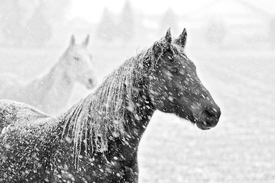 Black and white horses in the snow