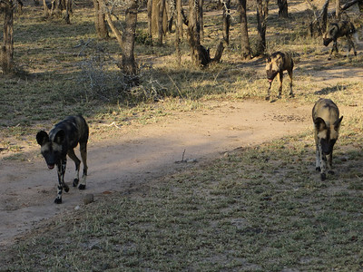 Wild dogs… they may look cute. Until you see them tear apart an impala...