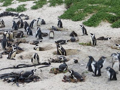 Watching the Cape Penguins…in Africa!