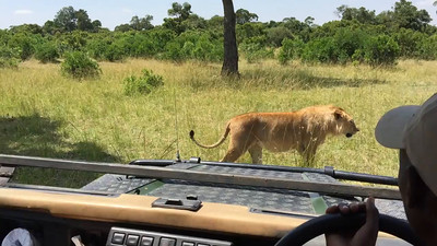 This young male lion walks by and gives us a quick once over ... but decides to move on.