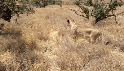 A short video of this lioness trying to find some shade for her midday nap.