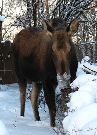 Moose grazing around the neighborhood