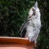 Looking Kookaburra
