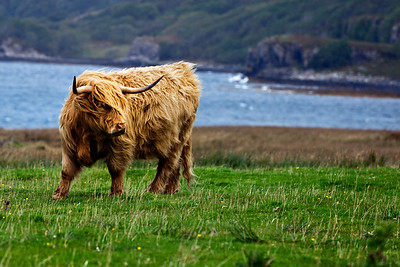 A highland cow battles high winds on Scotland's Isle of Mull.