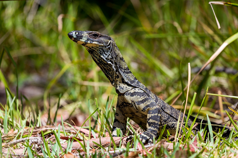 Australian Lizard