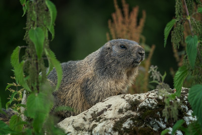 Portrait of a marmot