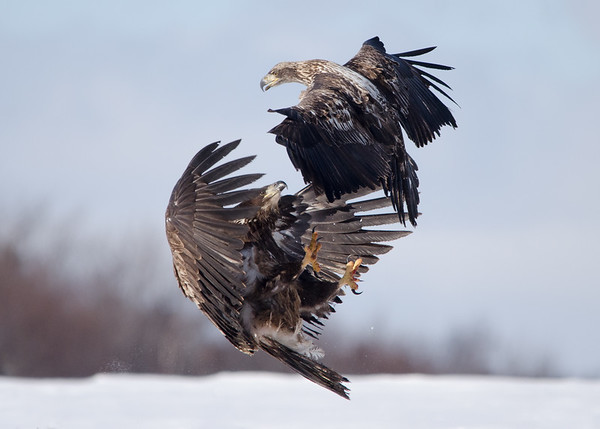 Bald Eagles Fighting