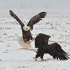 Bald Eagle Fighting