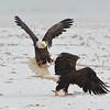 Bald Eagle Fighting