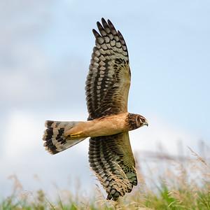 Northern Harrier (Circus cyaneus) - Hartlen Point, Nova Scotia