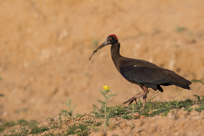 Red-naped Ibis