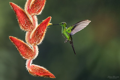 Green-crowned Brilliant ♂