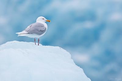 Glaucous Gull
