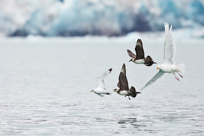 Glaucous Gull, Parasitic Skua & Kittiwake