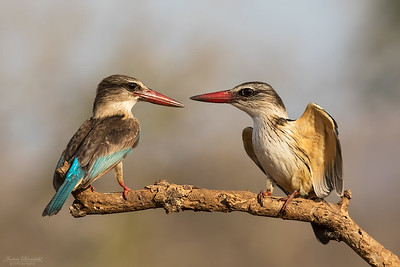 Brown-headed Kingfishers