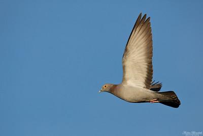 Yellow-eyed Dove