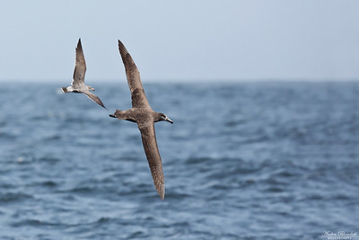 Black-footed Albatross & Heermann's Gull