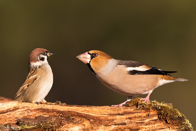 Tree Sparrow & Hawfinch