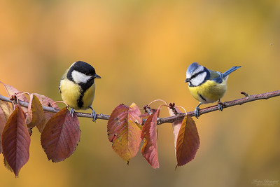 Great Tit & Eurasian Blue Tit