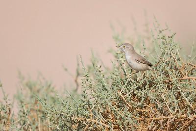 Asian Desert Warbler