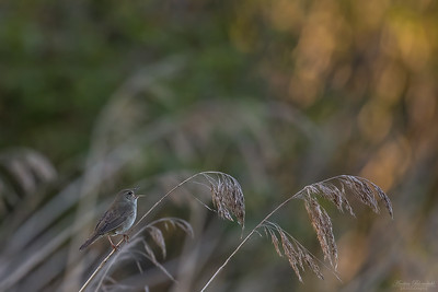 River Warbler