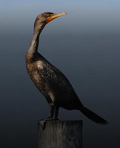 Double-crested Cormorant juvenile