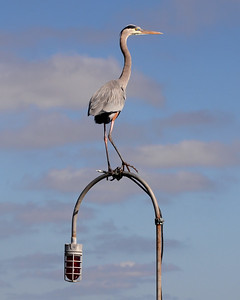 Great blue heron on a lamp post.