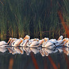 White pelicans on a misty morning.