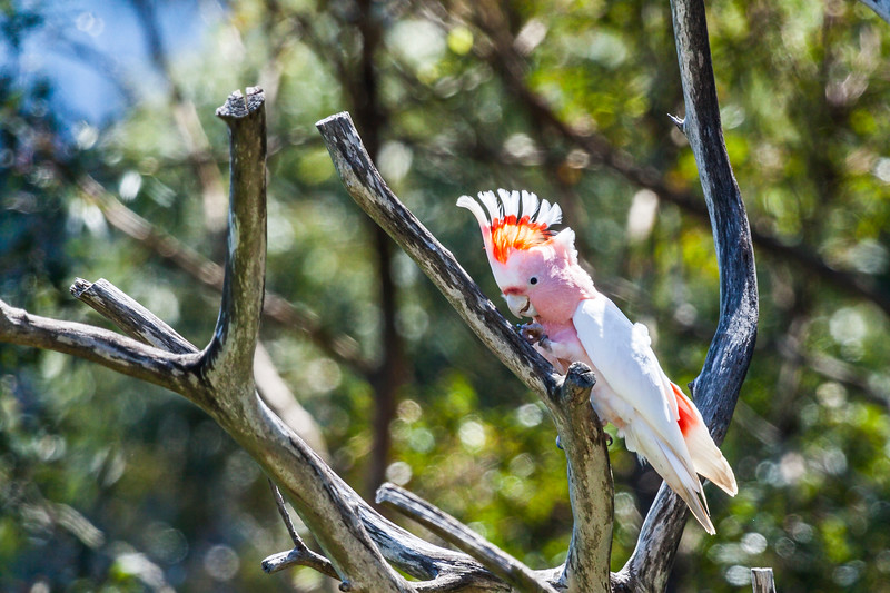 Cockatoo in a tree