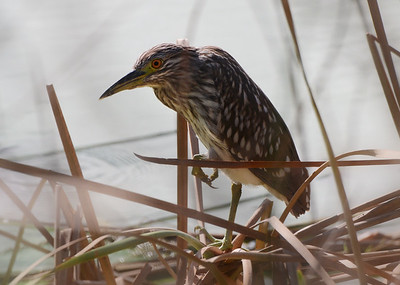 Juvenile black crowned night heron.