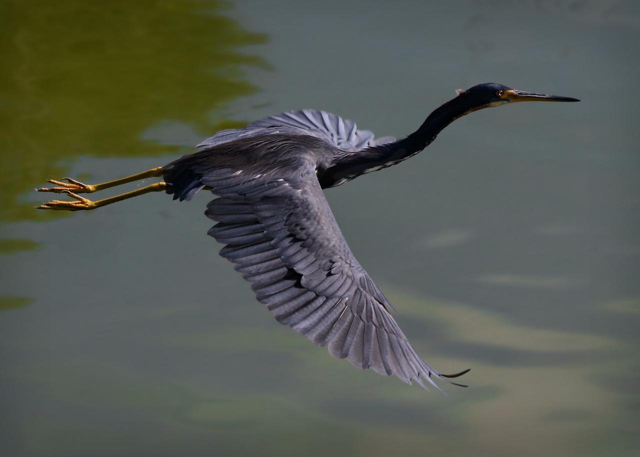 Little blue heron taking flight.
