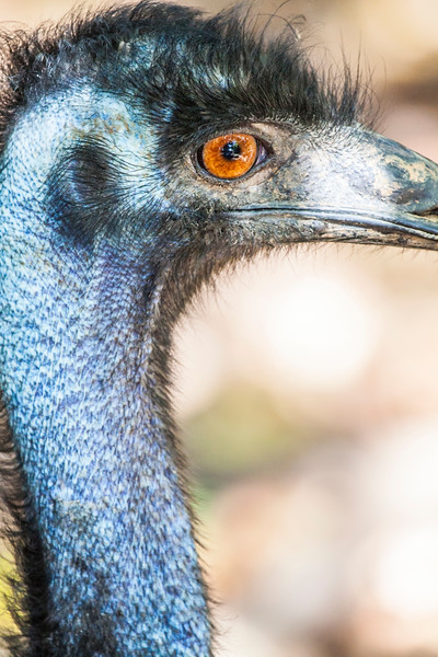 Close up of an Emu