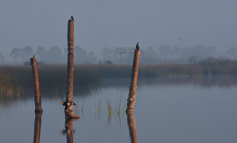 A kingfisher, a grackle, and two cormorants claim prime spots on a foggy morning at the Viera Wetlands. Melbourne, Florida, USA.