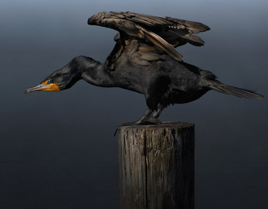 Double-crested Cormorant adult