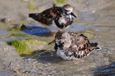 A ruddy turnstone performs its toilette.