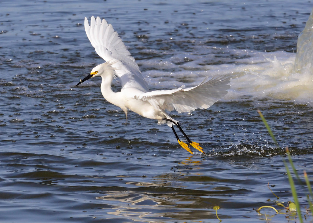 A snowy egret catches a minnow for breakfast.