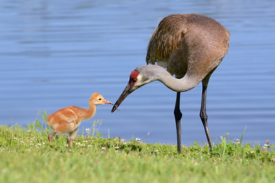 A Florida sandhill crane colt accepts a tasty treat from its parent.