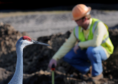 Sandhill crane admiring a construction worker's orange helmet.