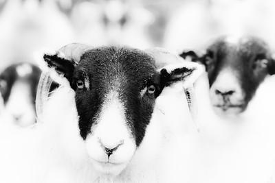 Highland Sheep: High-Key Portrait