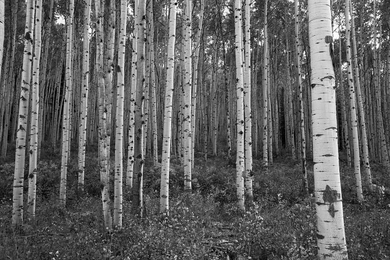 Aspen Trunks In Black And White - Kebler Pass, CO<br /> best print size - all