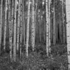 Aspen Trunks In Black And White - Kebler Pass, CO<br /> best print size - all