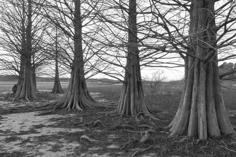 Cypress Trunks - Falls Lake.<br /> best print size - 8x12 or 12x18