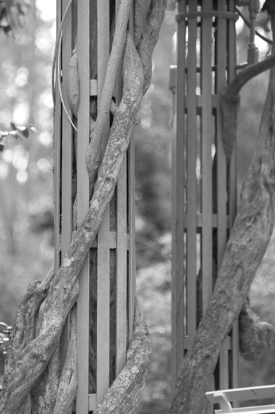 Vines On Columns - Duke Gardens<br /> best print size - 8x12 or 12x18