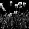 Backlit Flowers - Duke Gardens.<br /> best print size - 8x12 or 12x18
